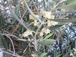 Castillo de canena - flor olivo2