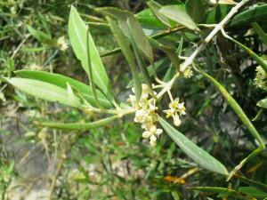 Castillo de canena - flor olivo3