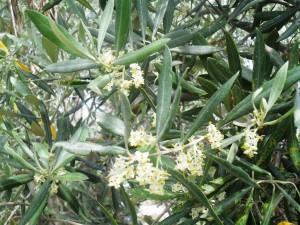 Castillo de canena - flor olivo4