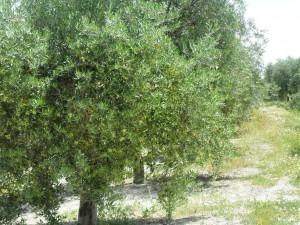 Castillo de canena - flor olivo5