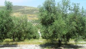 Castillo de canena - flor olivo6