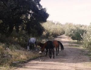 Castillo de Canena - aove evoo hove - caballo2