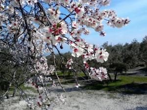 Castillo de Canena - almendro flor