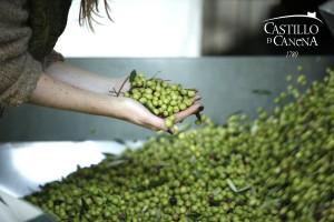 AOVE_Harvest_Castillo_de_Canena
