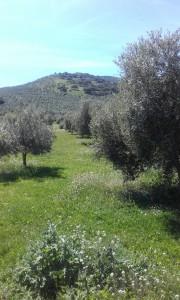 Olivar_Primavera_Castillo_de_Canena