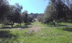Primavera_Cortijo_Guadiana_Olivar