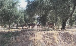 Ciervos_Campo_Castillo_de_Canena